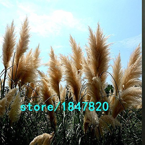 SwansVerden Hot Sale Amarillo Pampas Grass Seeds Flower Garden Potted Potted Potted Ornamental Plant Cortaderia Grass Seed New 100PCS 3b917a