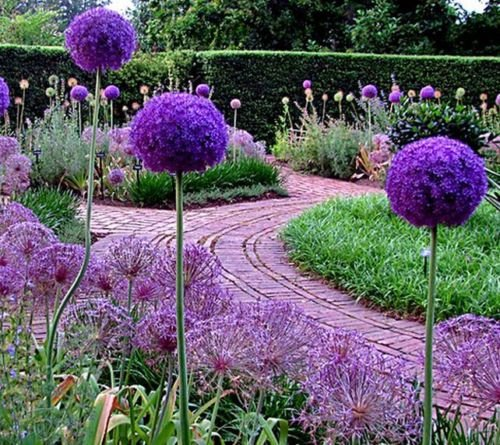 25 PCS Allium Giganteum Giant Allium Seeds B11, Ornamental Great Colors