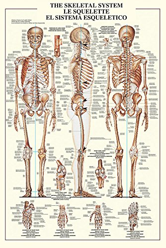 688071??Educational Education Human Skeleton Skeletal System Educational Poster in English, Size 61??x 91.5??cm by Empire Interactive (Interactive Skeleton)