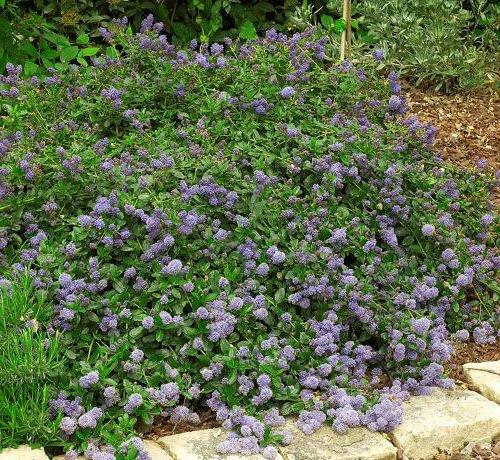 15 + Squaw Carpet seeds (Ceanothus prostratus)Groundcover Plant CombSH (Best Ceanothus Ground Cover)