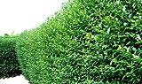 10 Green Privet Hedging Plants Ligustrum Hedge 40-60cm, Dense Evergreen, Potted 3fatpigs