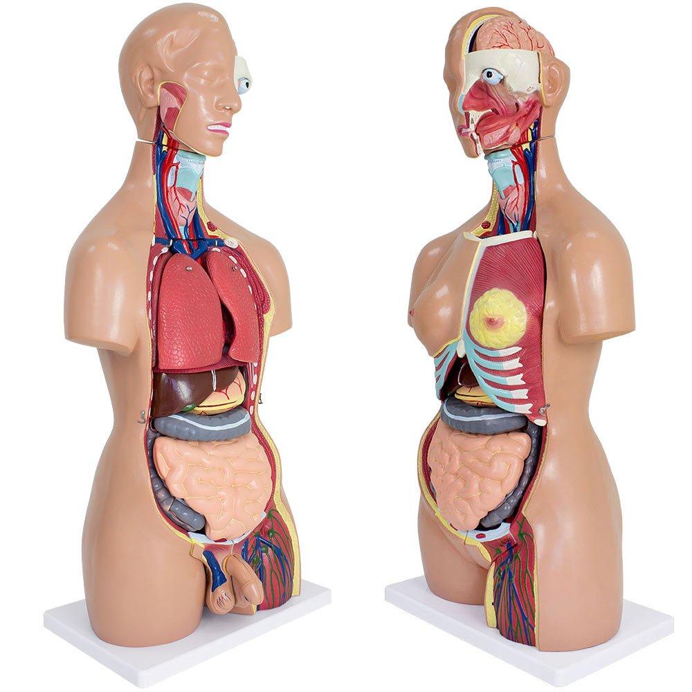 Anatomiemodell Frau Mann Medizinisches Anatomie Modell Torso 85 cm ...