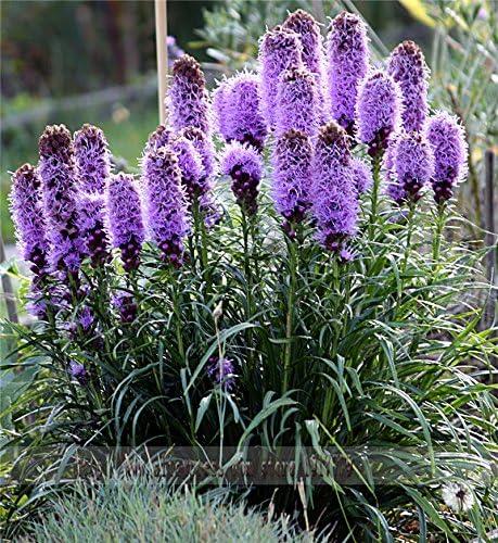 100pcs / Gayfeather (Liatris Spicata) Semillas semillas de flores de plantas de Bonsai para el jardín de. Color mixto, flores silvestres nativas perennes!: Amazon.es: Jardín