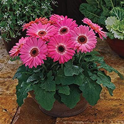Park Seed Majorette Pink Halo Gerbera Daisy Seeds