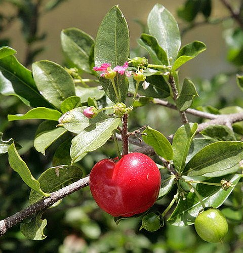 "Barbados Cherry Plant - Malpighia punicfolia - Acerola - Indoors/Out - 6"" pot"