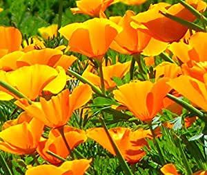 CALIFORNIA POPPY ORANGE Eschscholzia Californica - 50,000 Bulk Seeds