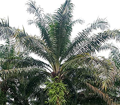 African Oil Palm Seeds (Elaeis guineensis) 2+ Rare Seeds + FREE Bonus 6 Variety Seed Pack - a $29.95 Value! Packed in FROZEN SEED CAPSULES for Growing Seeds Now or Saving Seeds For Years