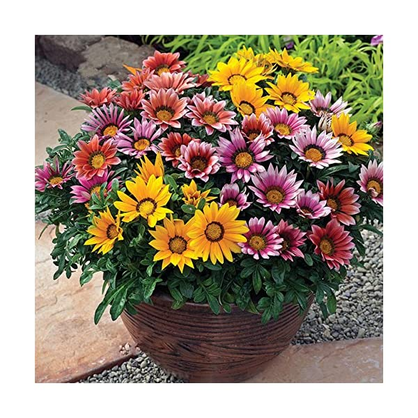 Inovey 1000Pcs Colorido Crisantemo Semillas Raras Flor Semillas Jard/ín Maceta Plantas