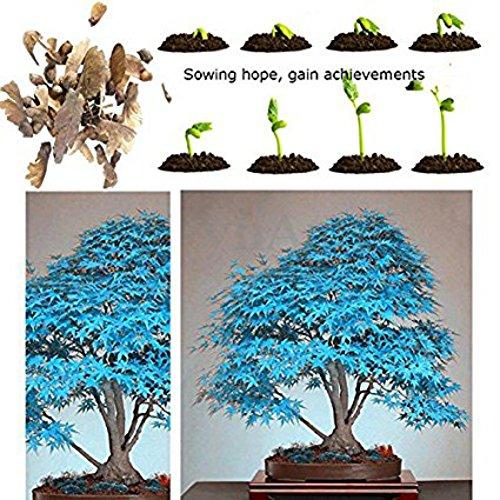 20pcs Japanese Maple Seeds Easy Grow Maple Bonsai Tree seeds New Arrival DIY Home Garden Planting(Blue)