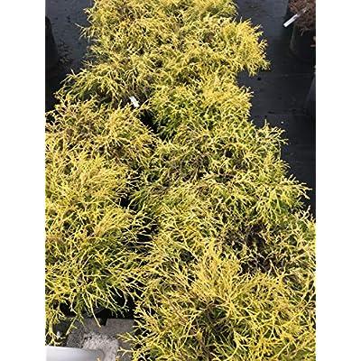 Golden Mop Threadleaf False Cypress (Chamaecyparis pisifera 'Golden Mop') : Garden & Outdoor