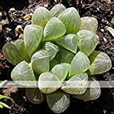 Solution Seeds Farm New Rare Variegated Haworthia Cooperi Pilifera Seeds, approx 5 Seeds / Pack
