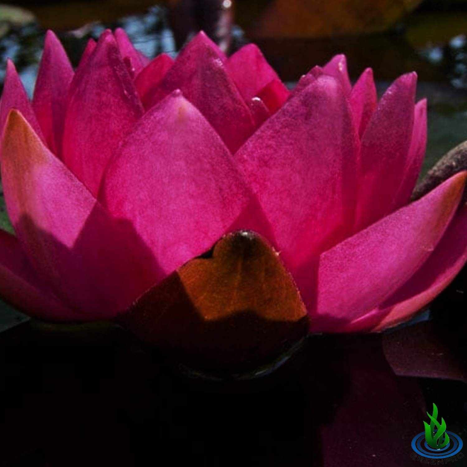 Live Water Lily Tuber Nymphaea James Brydon Pink Hardy Aquatic Plants for Aquarium Freshwater Fish Pond Garden by Greenpro (Image #3)