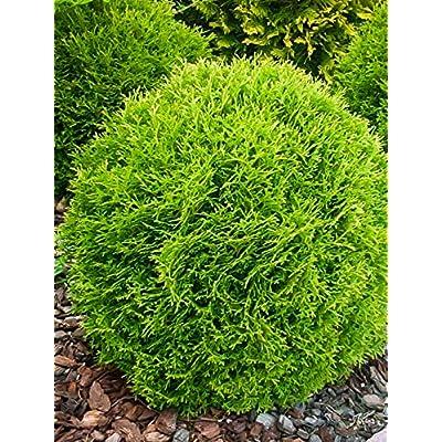 6 Little Giant Arborvitae : Garden & Outdoor