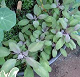 "Purple Sage Herb - Grow Indoors/Out - 4"" Pot"
