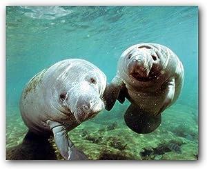 Pair of Manatee Doug Perrine Ocean Animal Wall Decor Art Print Poster (16x20)