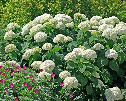 Annabelle Smooth Hydrangea  Live Plant  Quart Pot