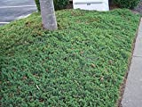 50 plants of Blue pacific Juniper liners, excellent ground cover, prevents soil erosion on slopes-liner,