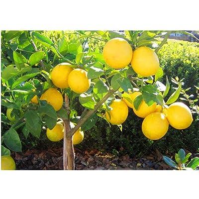 10pcs Lemon Tree Seeds High Survival Rate Bonsai Seedlings Fruit for Home Garden Balcony Bonsai : Garden & Outdoor