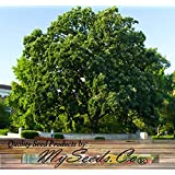 1 x Shellbark Hickory - Bigleaf Shagbark, Kingnut, Carya laciniosa TREE Seed - LARGEST Of The Hickory Nuts - Sweet Fruit With VERY Fine Flavor - ZONE 6 - By MySeeds.Co