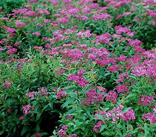 Spiraea (Anthony Waterer), Pink Flowering Spirea Shrub (3 Plants) ()