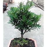 Pine Bonsai Tree Zen Reflections