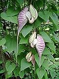 5 Seeds DUTCHMAN'S PIPE VINE ~ Aristolochia grandiflora ~