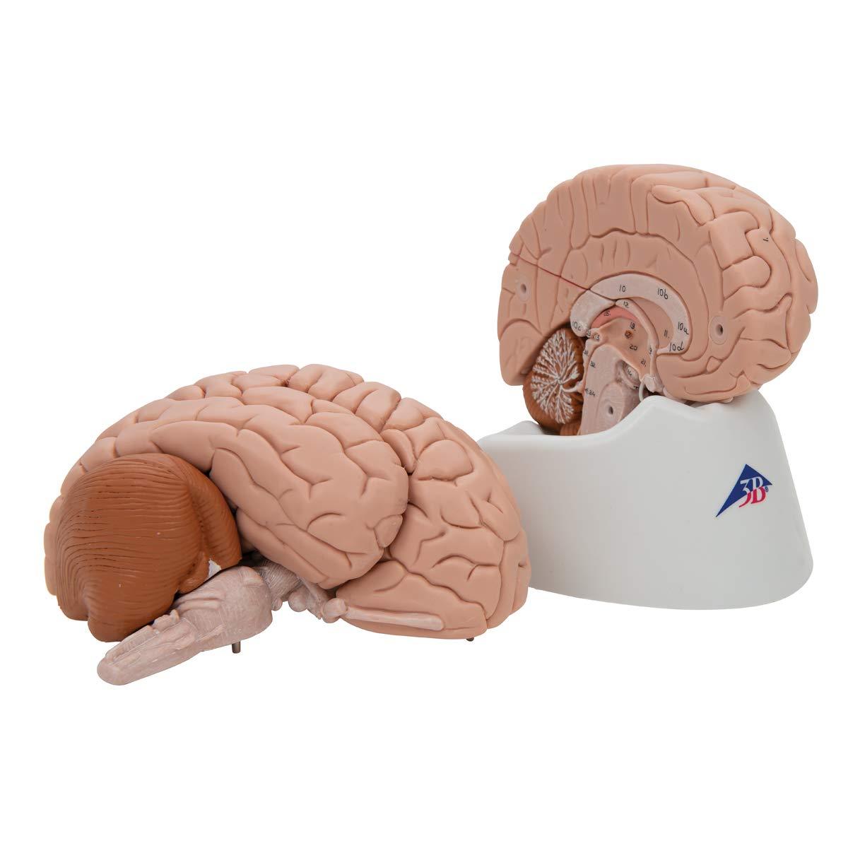 3B Scientific Deluxe 8-Part Brain by 3B Scientific (Image #5)