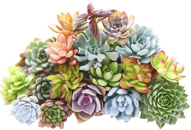 100pcs Succulent Seeds Lithops Living Stones Plants Cactus Home Plant Mix Decor
