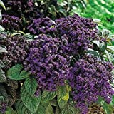 Fragrant Marine Heliotrope 50 Seeds