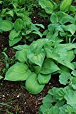 1 Starter Plant Paul's Glory Hosta in Gallon Pot