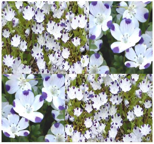 FIVE SPOT Flower Seeds - Nemophila maculata Seed - BEES & BUTTERFLY ~ PERFECT FOR SHADE AREA - Perennial In Zone 7 + (000450 Seeds - 450 Seeds - Pkt. Size)