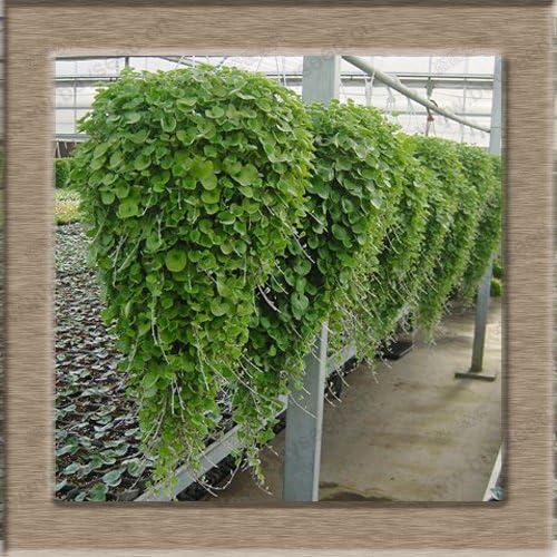 Semilla Dichondra Repens Césped dinero hierba jardín colgante decorativo Plantas hacer semillas de flores 200 partículas / bolsa: Amazon.es: Jardín