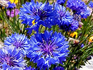 """Cornflower """"Dwarf Blue"""" - Bachelor Button 1000 Seeds and FREE package of """"Wildflower Trio Mix"""" with planting instructions."""