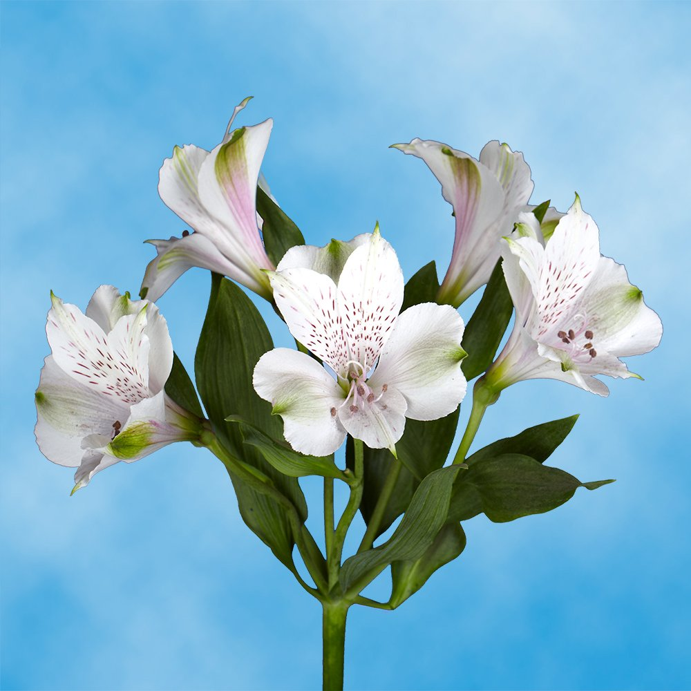 GlobalRose 240 Blooms of White Select Alstroemerias 60 Stems - Peruvian Lily Fresh Flowers for Delivery