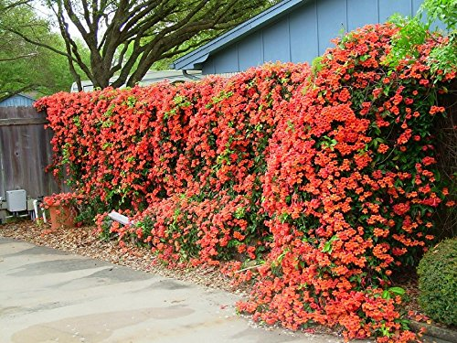 Red Trumpet Vine - Campsis x tagliabuana 'Madame Galen' - Prolific Bloomer - 3 Year Live Plant by Japanese Maples and Evergreens (Image #3)