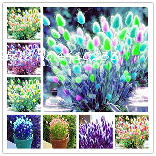 Garden Plants Grasses - Kasuki New! 100 Pcs Rabbit Tails Grass Bonsai Plant, Rainbow Ornamental Grasses Bonsai for Home Garden Potted Plants Decor Easy Grow - (Color: Mix)