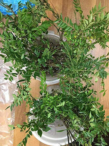 1 Indian Curry Leaves Tree Murraya Chalcas Koenigii, Large Rooted Live Plant