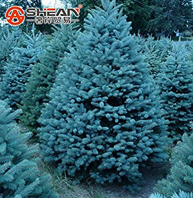 Best Selling!!! Pack 100 Pcs Blue Spruce Seeds Picea Tree Potted Bonsai Courtyard Garden Bonsai Plant Pine Tree Seeds