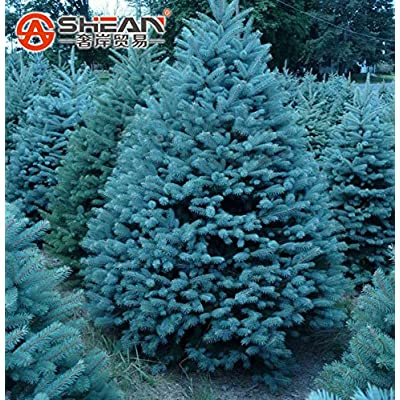 New Arrival! Pack 100 Pcs Blue Spruce Seeds Picea Tree Potted Bonsai Courtyard Garden Bonsai Plant Pine Tree Seeds : Garden & Outdoor