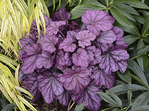 (Primo Wild Rose - Coral Bells - Heuchera - Shade - Proven Winners - Gallon Pot)