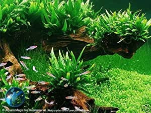 Philip Java helecho–planta para Acuario Peces Tanque de musgo Q
