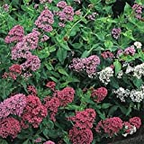 Jupiter's Beard- (Centranthus Ruber Coccineus) Mixed Colors- 50 Seeds
