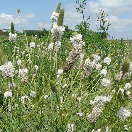 Samen Dalea candida 300 White Prairie Clover