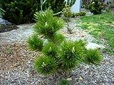 Banshosho Japanese Black Pine 2 - Year Live Plant