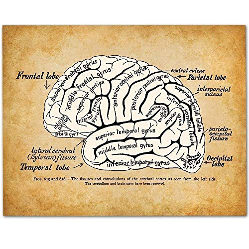 Brain - 11x14 Unframed Art Print - Makes a Great Gift Under $15 for Medical, Nursing Students, Doctors or -