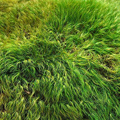 Miniature Fairy Garden Mood Moss product image