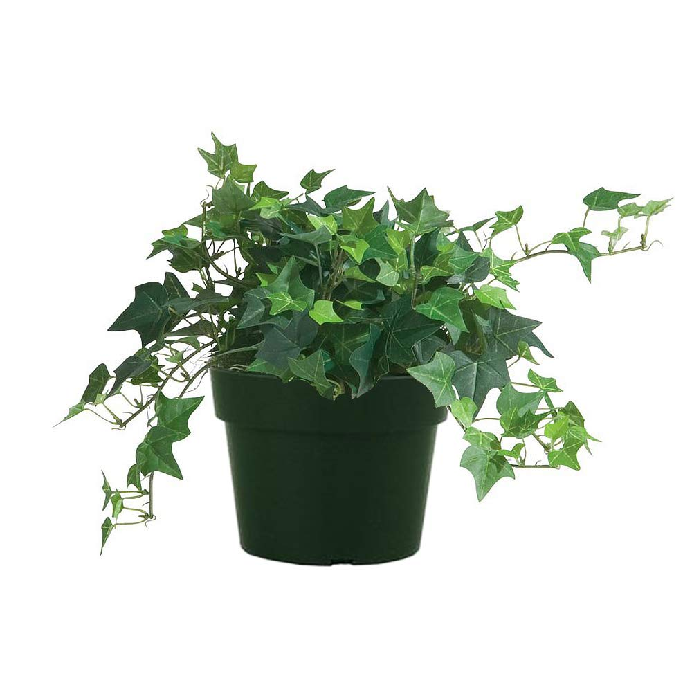 AMERICAN PLANT EXCHANGE Easy Care English Ivy Large Leaf Trailing Vine Live Plant 6'' 1 Gallon Top Indoor Air Purifier!