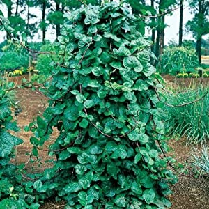 Seeds and Things Red Malabar Spinach 100+ Seeds Edible/ornamental- by Seeds and Things