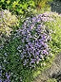 20 Mediterranean Thyme Spiked Thymbra Spicata Savory Herb Zaâ€ATAR Flower Seeds