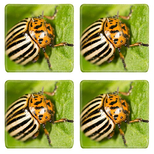 luxlady-square-coaster-image-id-39777597-colorado-potato-beetle-on-a-green-leaf